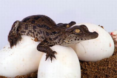 som poeter alligator